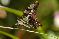 Tailed Jay Butterfly. Tailed Jay-Graphuim agamemnon(proflie view Royalty Free Stock Photos