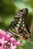 Tailed Jay Butterfly. Tailed Jay-Graphium agamemnon, perched on a pink penta Stock Photo