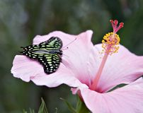 Tailed Jay Butterfly. An Amazon butterfly, the Tailed Jay on a pink hybiscus flower. Flourescent green, black, pink stock images