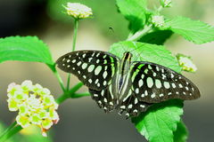 Tailed Jay Butterfly,aka,Graphium agamemnon Stock Photo