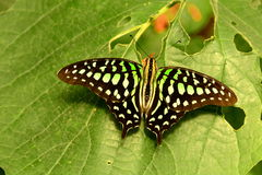 The Tailed Jay Royalty Free Stock Images