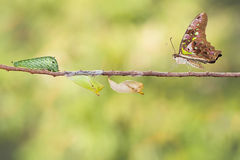 Tailed jay butterfly with chrysalis and caterpillar. On twig Royalty Free Stock Images
