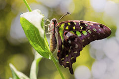 Tailed Jay butterfly Royalty Free Stock Images
