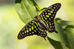 Tailed Jay butterfly Royalty Free Stock Photo