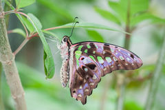 Tailed Jay Butterfly Royalty Free Stock Image
