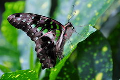 Tailed Jay Butterfly,Graphium agamemnon Stock Photos