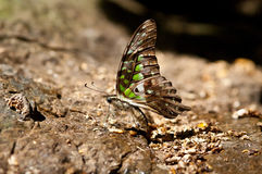 Tailed Jay butterfly.(Graphium agamemnon) Royalty Free Stock Photography