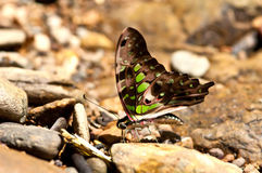 Tailed Jay butterfly.(Graphium agamemnon) Stock Photography