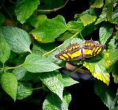 Tailed Jay Butterfly (Graphium agamemnon) Stock Image