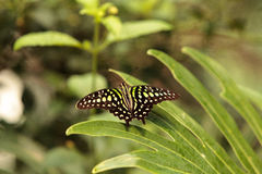 Tailed Jay butterfly, Graphium Agamemnon Royalty Free Stock Image