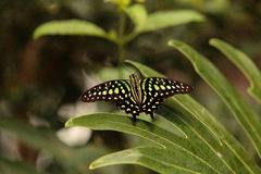 Tailed Jay butterfly, Graphium Agamemnon Royalty Free Stock Images