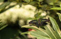 Tailed Jay butterfly, Graphium Agamemnon Stock Photography