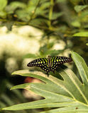 Tailed Jay butterfly, Graphium Agamemnon Stock Photo