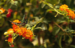 Tailed Jay butterfly, Graphium Agamemnon Stock Photos