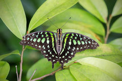 Tailed Jay Butterfly Stock Photography