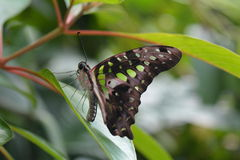 Tailed Jay butterfly Stock Image