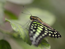 Tailed jay butterfly on leaf Stock Image