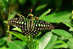 Tailed Jay butterfly Stock Photos