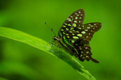 Tailed Jay (Butterfly) Stock Photography