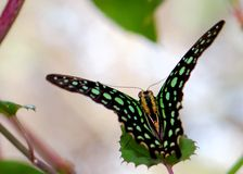 Tailed Jay (Graphium agamemnon) butterfly Stock Image