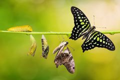 Tailed Jay Graphium agamemnon butterfly life cycle. From caterpillar to pupa and its adult form, change and transformation concept, isolated on nature royalty free stock photos