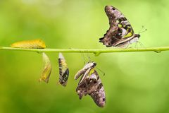 Tailed Jay Graphium agamemnon butterfly life cycle. From caterpillar to pupa and its adult form, change and transformation concept, isolated on nature stock photos