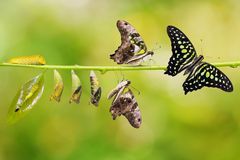 Tailed Jay Graphium agamemnon butterfly life cycle. From caterpillar to pupa and its adult form, change and transformation concept, isolated on nature stock photography