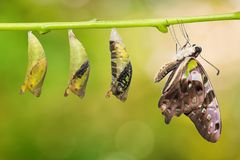 Tailed Jay Graphium agamemnon butterfly and pupa transformation stock images