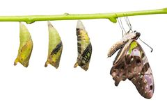 Tailed Jay Graphium agamemnon butterfly and pupa transformation stock image