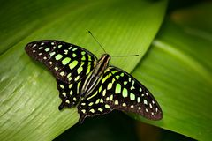 Tailed jay, Graphium agamemnon, sitting on leaves. Insect in the dark tropical forest, nature habitat. Green butterfly on green le Royalty Free Stock Image