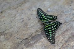 Tailed Jay Graphium agamemnon on stone stock photography