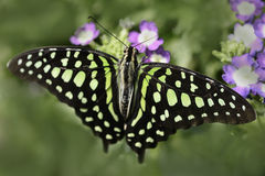 Tailed Jay resting Stock Photo