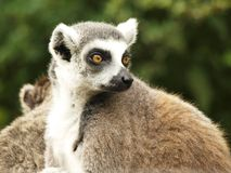 Tailed lemur Stock Photo