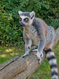 Tailed lemur Royalty Free Stock Photo
