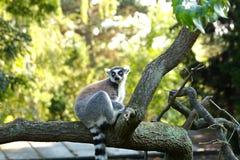 tailed lemur Royaltyfria Foton