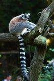 tailed lemur Royaltyfri Fotografi