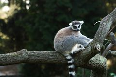 tailed lemur Arkivfoto