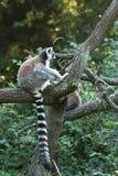 tailed lemur Arkivfoton