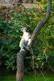 tailed lemur Arkivbilder