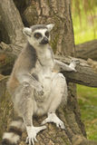 Tailed lemur sitting on tree trunk Royalty Free Stock Images