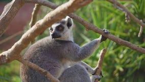 tailed lemurcirkel arkivfilmer