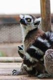 tailed lemurcirkel Royaltyfri Fotografi