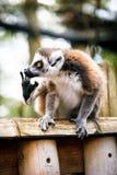 tailed lemurcirkel Arkivfoto
