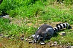 tailed lemurcirkel Arkivfoton
