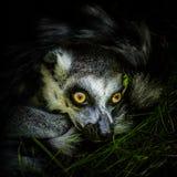 tailed lemurcirkel Royaltyfri Foto