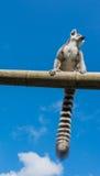 tailed lemurcirkel Royaltyfria Bilder