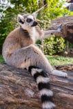 tailed lemurcirkel Royaltyfria Foton