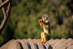 tailed lemurcirkel Arkivbild