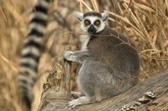 tailed lemurcirkelsitting Royaltyfri Fotografi