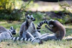tailed lemurscirkel Arkivfoto